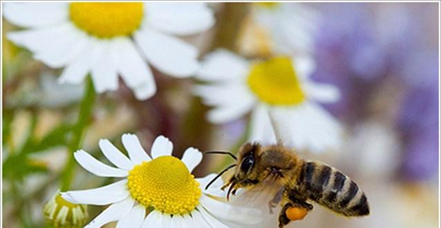 Οταν βρίσκονται αντιμέτωπες με την απειλή μιας μυκητιασικής μόλυνσης, οι μέλισσες φέρνουν 45% περισσότερο κερί για να ενισχύσουν την κυψέλη τους, ενώ παράλληλα απομακρύνουν οι ίδιες τις μολυσμένες προνύμφες από την αποικία.
