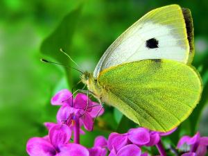 πεταλοῦδες