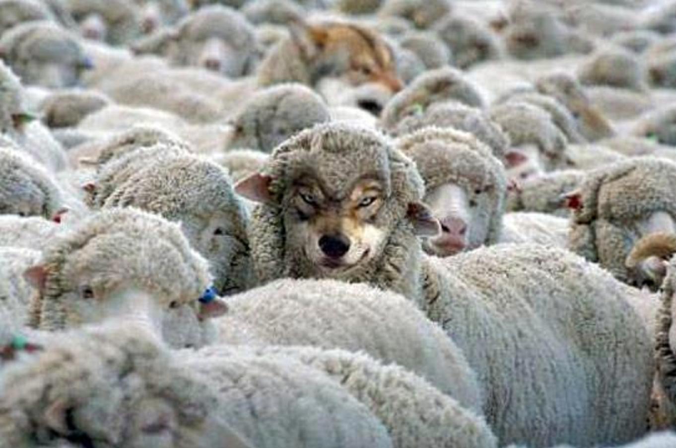 Τί κάνουν οἱ λύκοι ἀνάμεσα στά πρόβατα;