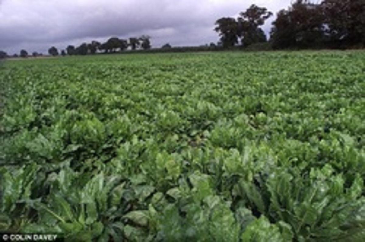 Τοξικὸν γονίδιον στὶς γενετικὰ τροποποιημένες καλλιέργειες. 2
