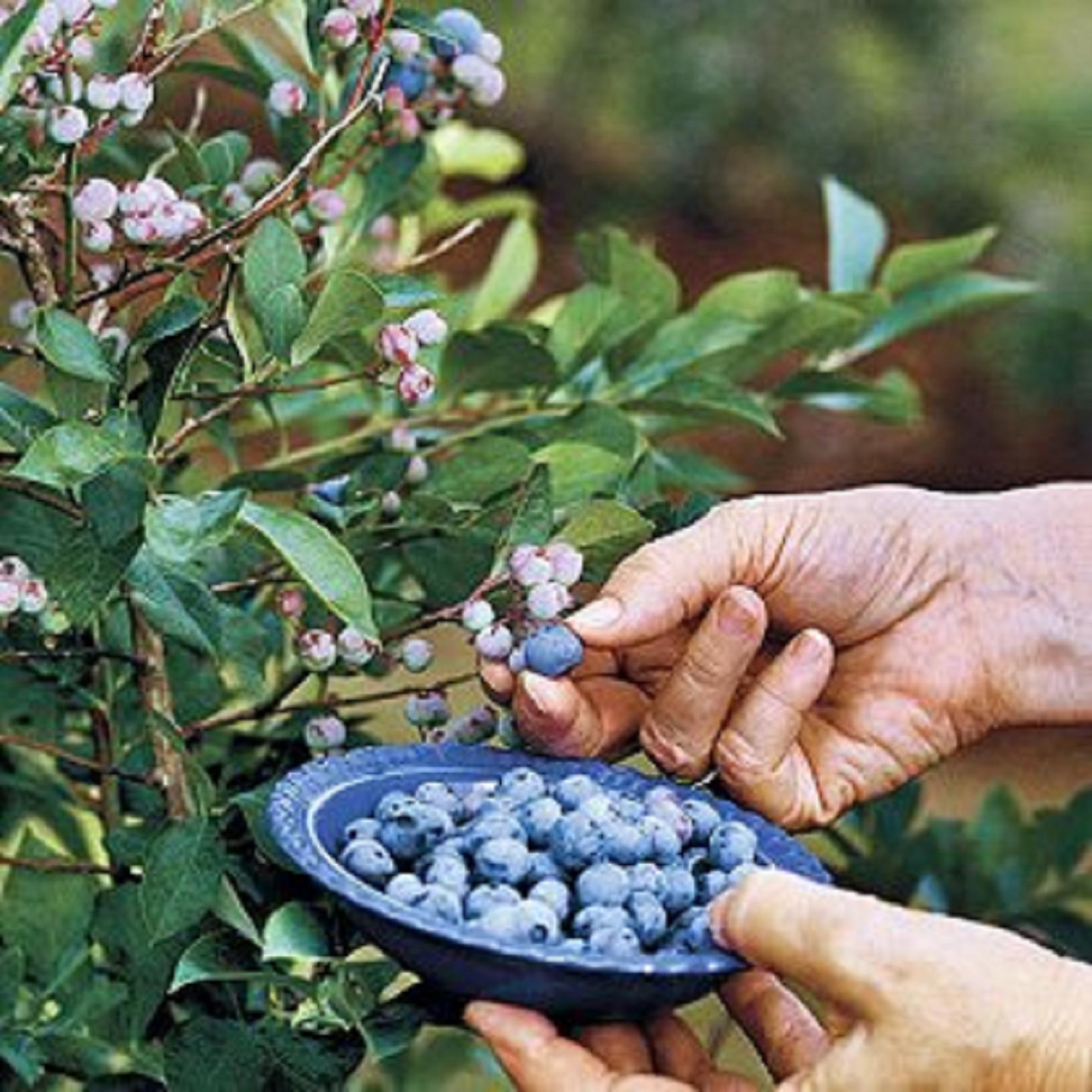 Φυτεύουμε φροῦτα τοῦ δάσους στόν ἐξώστη μας;1