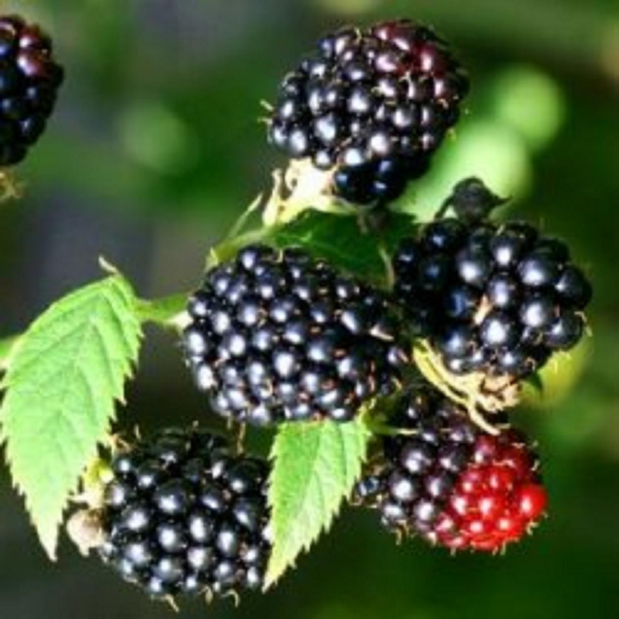 Φυτεύουμε φροῦτα τοῦ δάσους στόν ἐξώστη μας;5