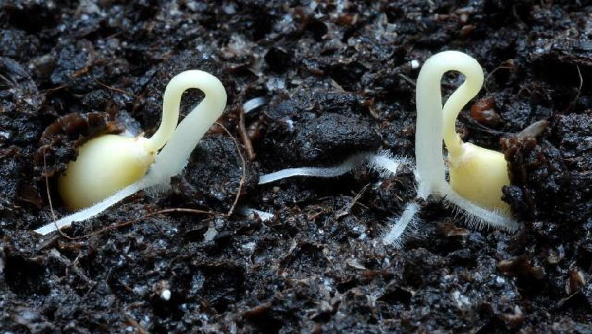Φύτρα, μία ζωντανὴ ὑπὲρ-τροφὴ ξεχασμένη1