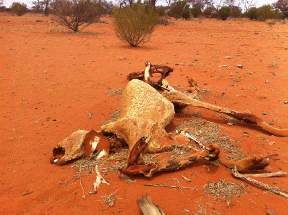 Αὐστραλία. Ἀποτέλεσμα τῆς ξηρασίας.