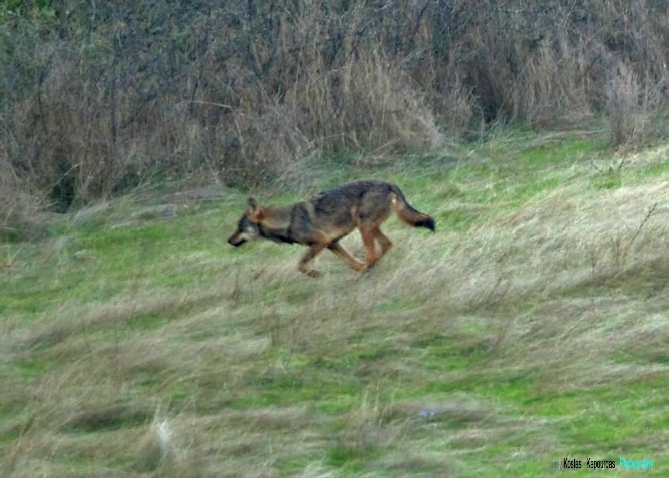 Λύκος, ὁ ἀπόλυτος κυνηγός.3