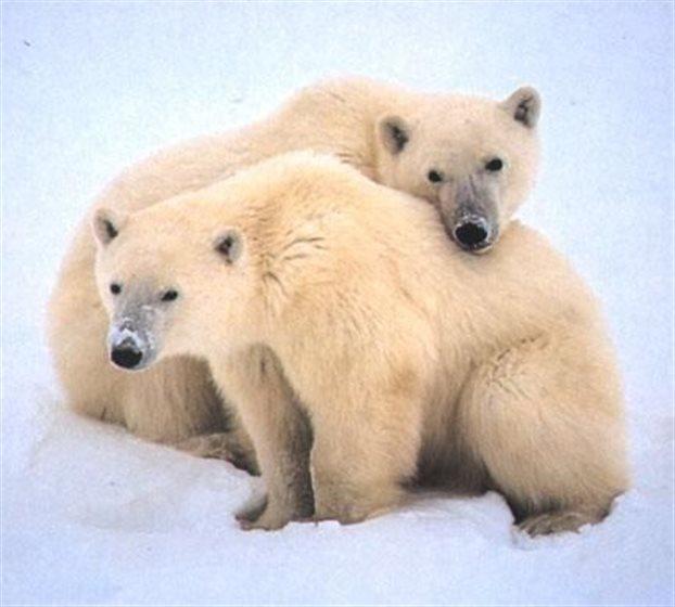 Ακόμη και η τεράστια πολική αρκούδα συρρικνώνεται, πιθανότατα εξαιτίας της υπερθέρμανσης του πλανήτη, σύμφωνα με νέα μελέτη