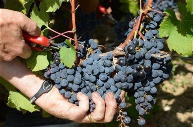 Σχεδόν όλα τα σημερινά κρασιά παράγονται από το ευρωπαϊκό αμπέλι Vitis vinifera
